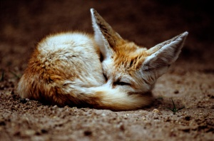1231677861_fennec_fox_2_by_art_photo