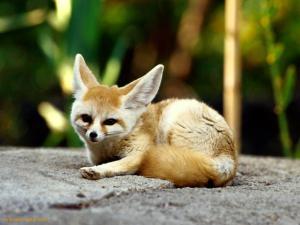 Fennec-Fox-Memphis-Tennessee-1