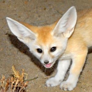 Fennec-Fox-Pup