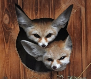 Fennec-Foxes-610x527