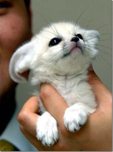 fennec_fox6_thumb