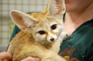 fennec_fox_by_mtsofan-d3a0gel