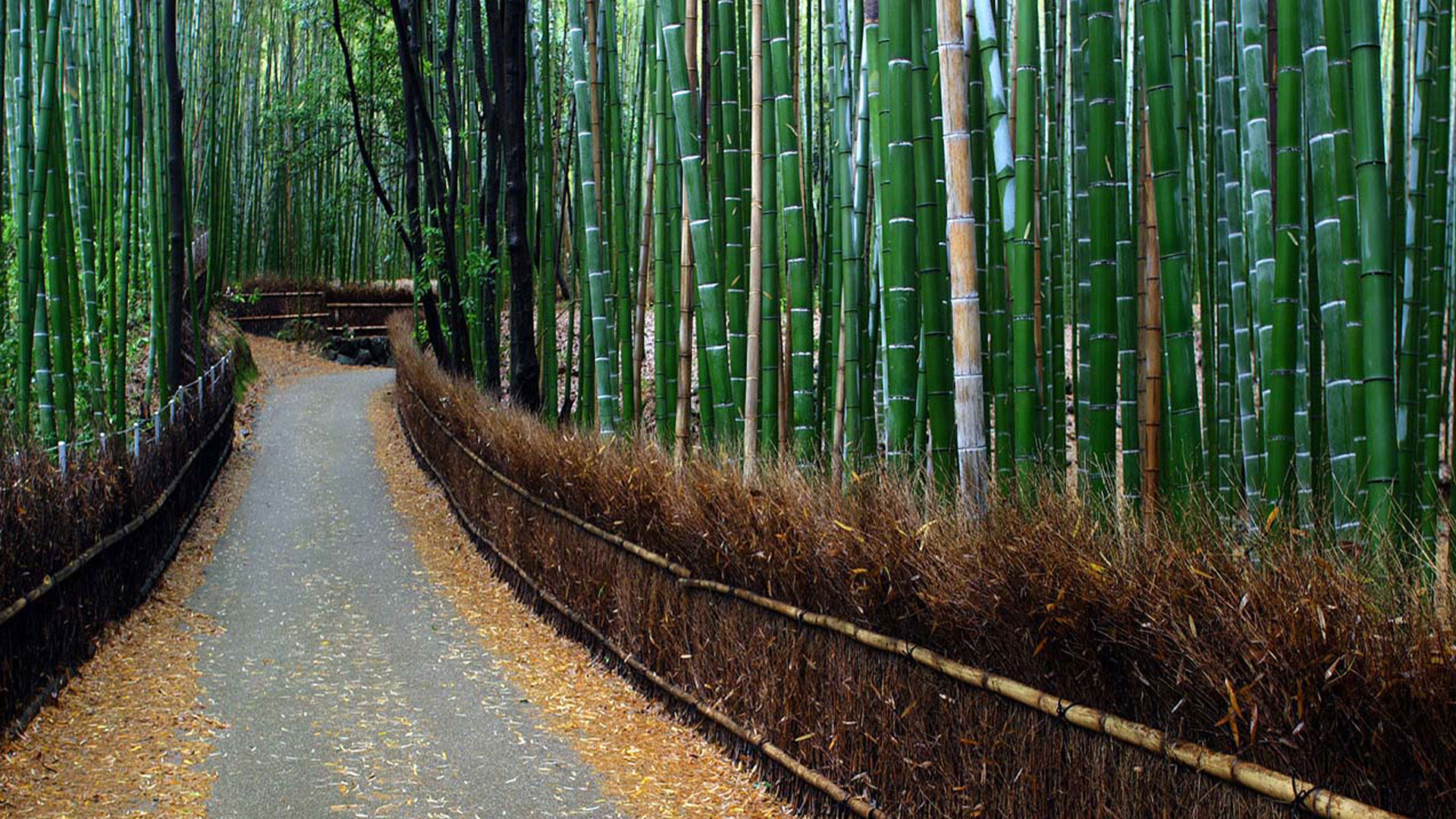 bamboo forest wallpaper